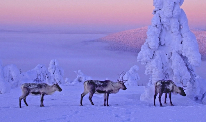 Caribou in Finnish Lapland. Photo from http://www.laplandextremerace.com.